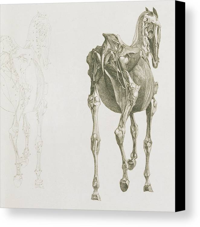 The Anatomy Of The Horse Canvas Print Canvas Art By George Stubbs
