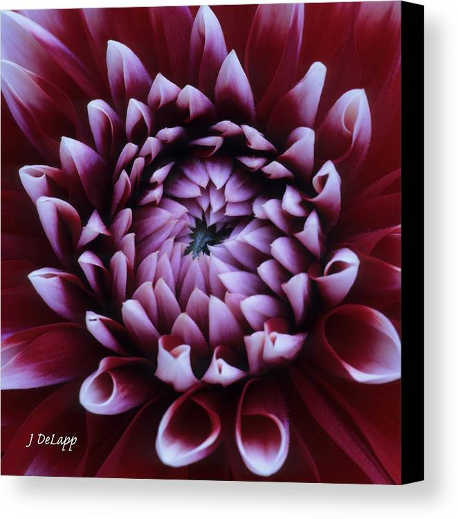 Dahlia Maroon Canvas Print featuring the photograph Dahlia Deep Maroon And While V1 by Janet DeLapp
