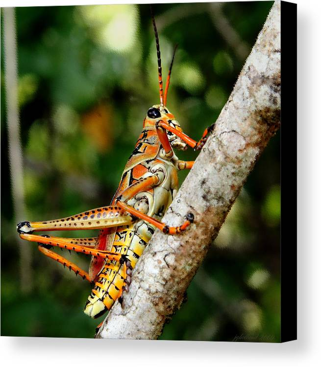 Everglades Canvas Print featuring the photograph Everglades Grasshopper by Joseph G Holland