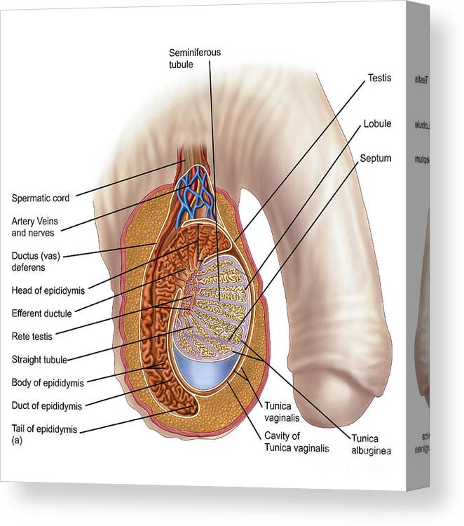 Anatomy Of Male Testis Canvas Print Canvas Art By Stocktrek Images