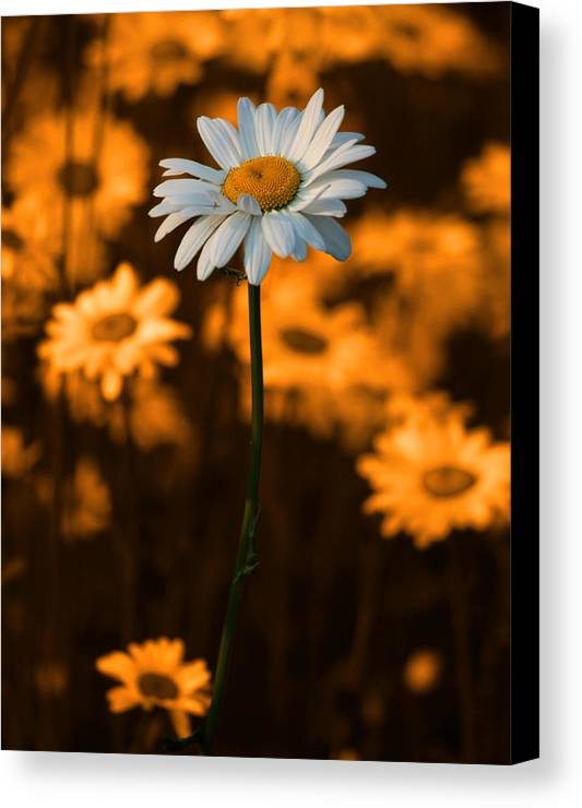 Daisy Canvas Print featuring the photograph Standing Alone by Linda McRae