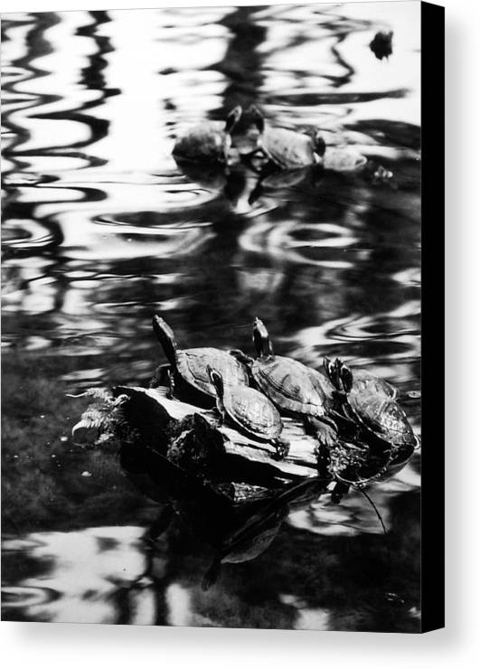 Turtles Canvas Print featuring the photograph Sun Worshippers by Allan McConnell
