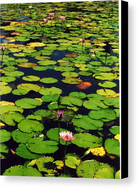 Water Lilies Water Canvas Print featuring the photograph Wailea Water Lilies by Jennifer Ott