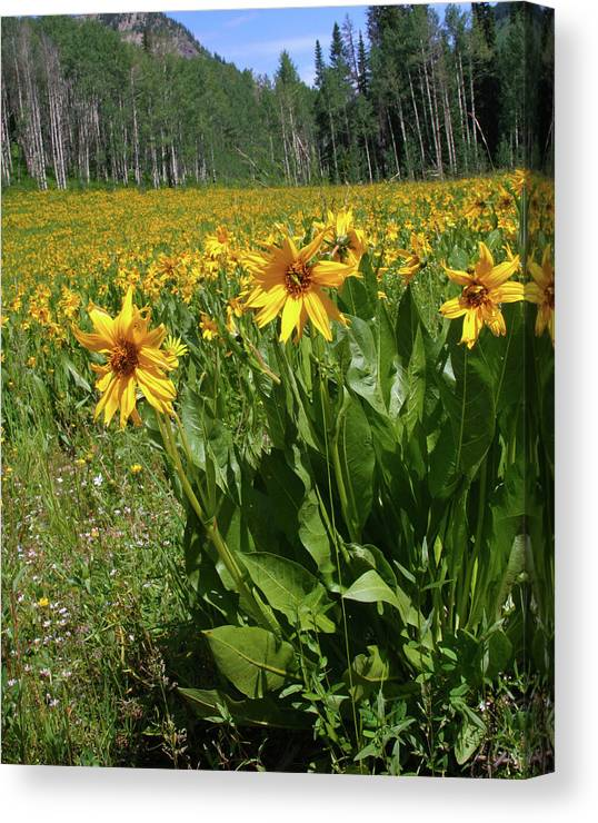 Beauty Canvas Print featuring the photograph Mule Ear Sunflowers by Crystal Garner