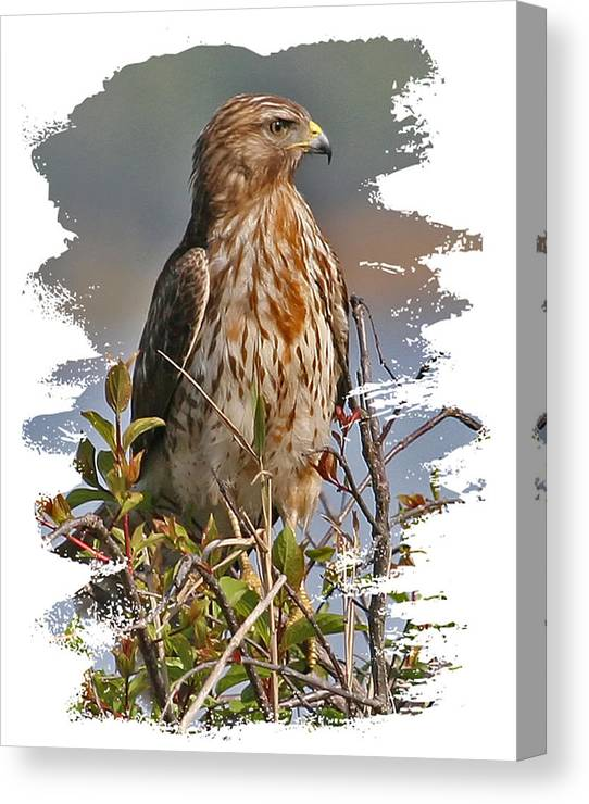 Red-shouldered Hawk Canvas Print featuring the photograph Red-shouldered Hawk by Larry Linton