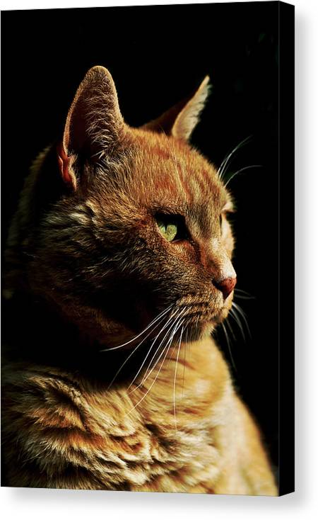 Cat Canvas Print featuring the photograph Remo On Black by Mary Anne Williams