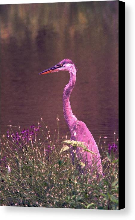 Great Blue Heron Canvas Print featuring the photograph 080706-12 by Mike Davis