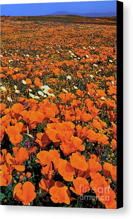 Dave Welling Canvas Print featuring the photograph California Poppies Desert Dandelions California by Dave Welling