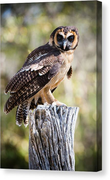 Awendaw Canvas Print featuring the photograph Asian Brown Wood Owl by Chris Smith
