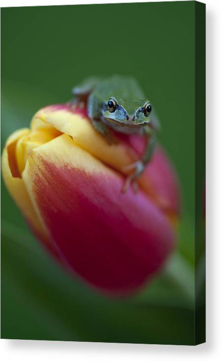Pacific Tree Frog Canvas Print featuring the photograph Tulip Frog by Summer Kozisek