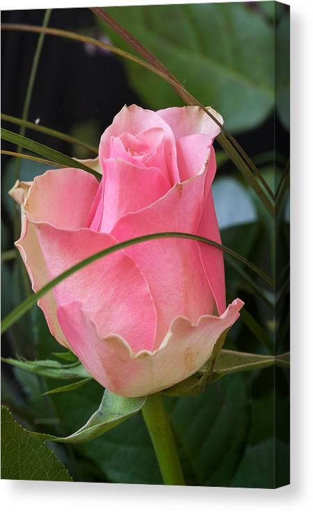 Rose Canvas Print featuring the photograph Rose by Theo Tan