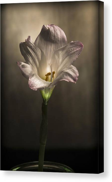 �2010 Lou Novick Canvas Print featuring the digital art Flashlight Series White Flower 6 by Lou Novick