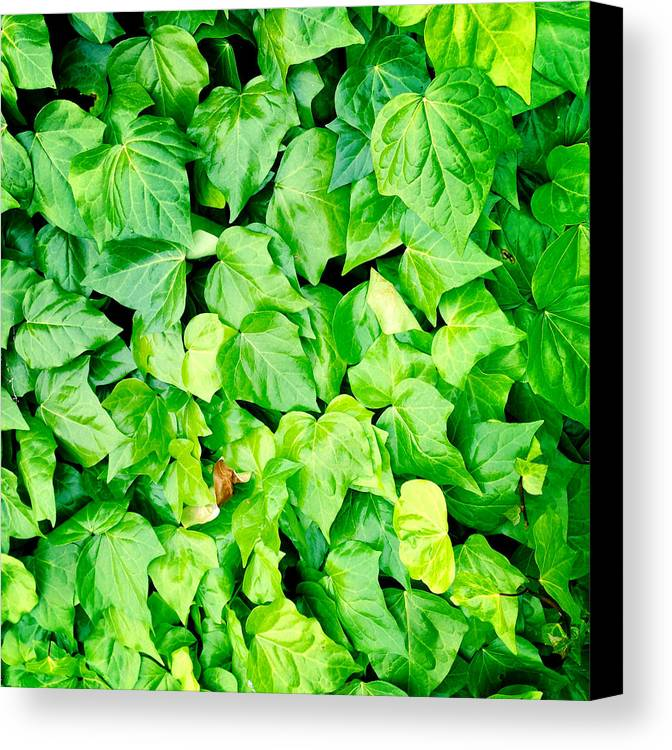 Lush Canvas Print featuring the photograph Ivy by Les Cunliffe