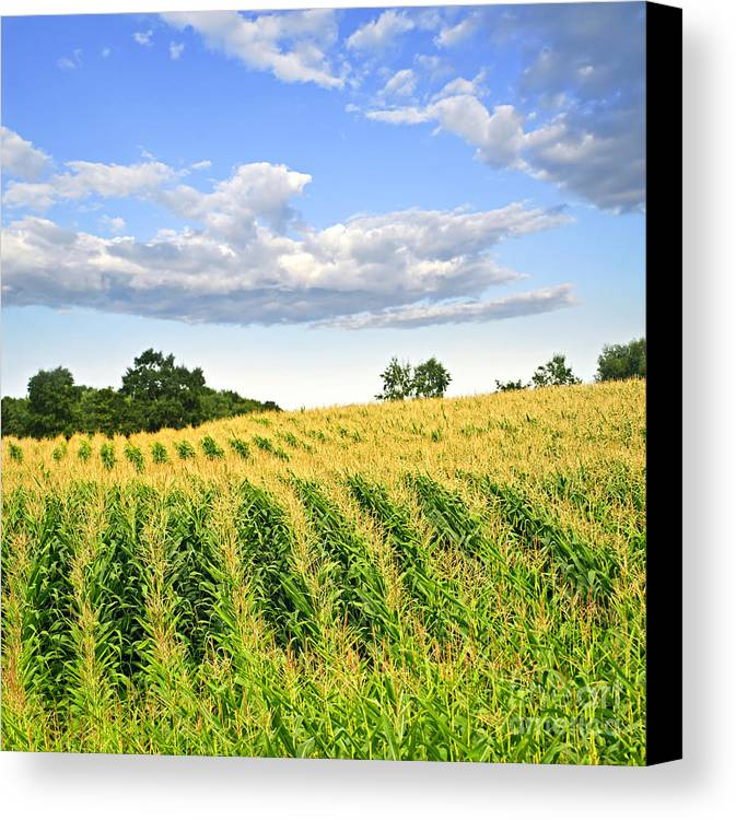 Agriculture Canvas Print featuring the photograph Corn Field by Elena Elisseeva