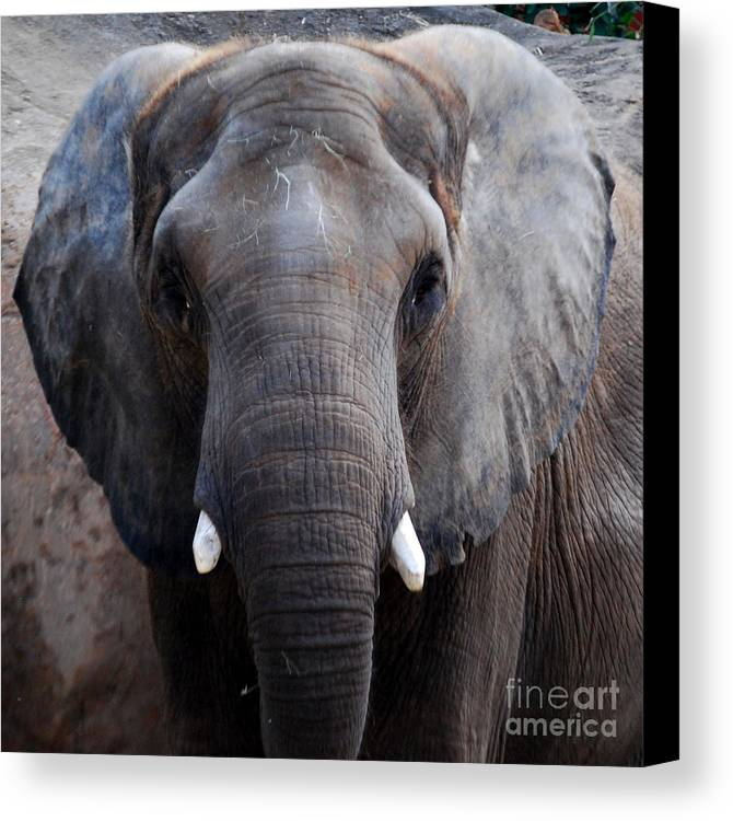 Grey Elephant Canvas Print featuring the photograph Jumbo by Nancy Bradley