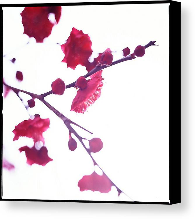 Vertical Canvas Print featuring the photograph Ume Blossom Under The Sun by Moaan