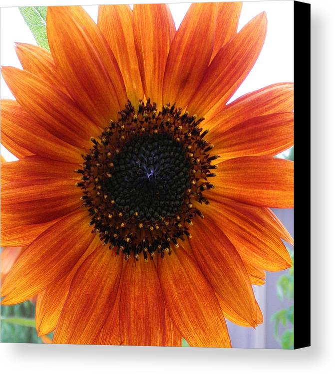 Flower Canvas Print featuring the photograph Bronze Sunflower No 2 by Jeanette Oberholtzer