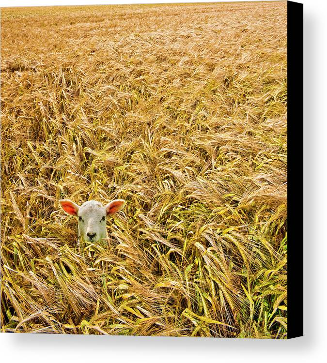 Sheep Canvas Print featuring the photograph Lamb With Barley by Meirion Matthias
