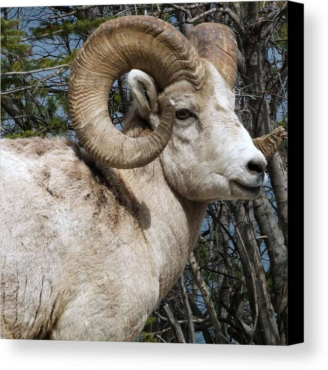 Wildlife Canvas Print featuring the photograph Rocky Mountain Ram by Tiffany Vest