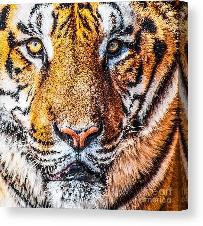 Amur Canvas Print featuring the photograph Bengal Tiger Portrait by Aleksandar Mijatovic