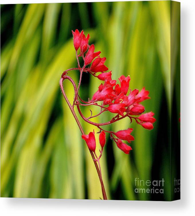 Heuchera Canvas Print featuring the photograph Coral Bells Blooming by Tanya Searcy