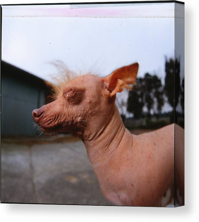 Dog Canvas Print featuring the photograph A Chinese Crested Dog Drying by Cica Oyama