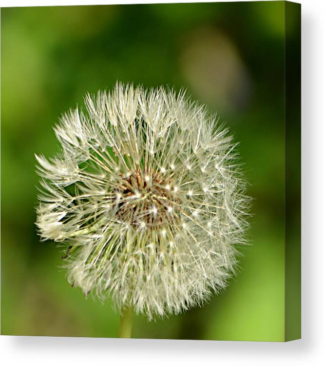 Dandelion Puff Canvas Print featuring the photograph Dandelion Puff by Ally White