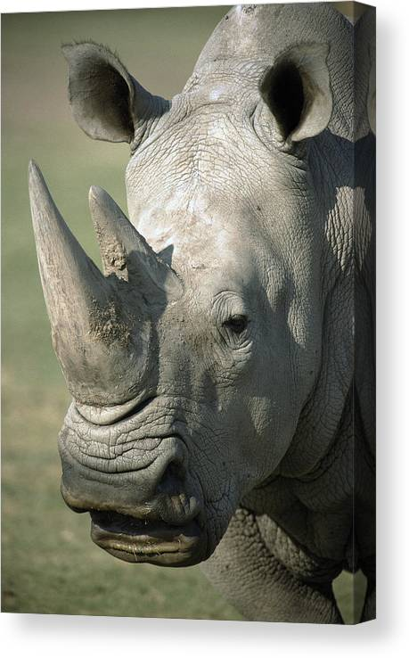 Feb0514 Canvas Print featuring the photograph White Rhinoceros Portrait by San Diego Zoo