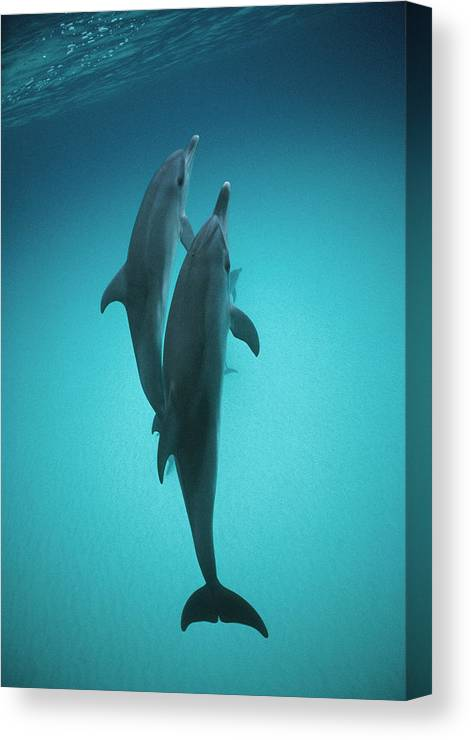 Feb0514 Canvas Print featuring the photograph Atlantic Spotted Dolphin Pair Bahamas by Flip Nicklin
