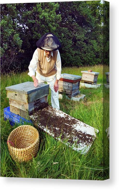 Apis Mellifera Canvas Print featuring the photograph Beekeeper Hiving A Honeybee Swarm by Simon Fraser/science Photo Library