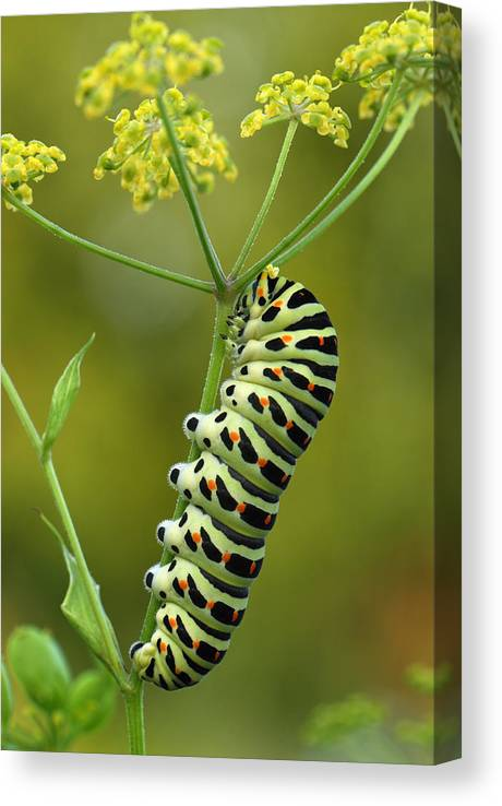 Feb0514 Canvas Print featuring the photograph Oldworld Swallowtail Caterpillar by Thomas Marent