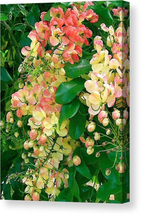 Rainbow Shower Tree Canvas Print featuring the photograph Rainbow Shower Tree by James Temple
