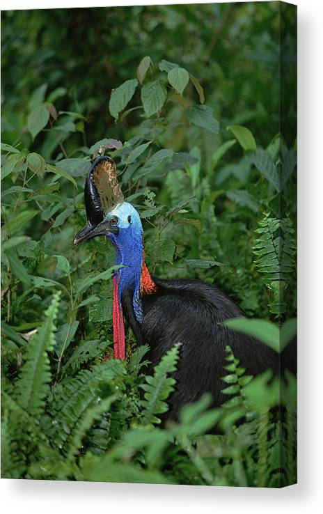 Mp Canvas Print featuring the photograph Southern Cassowary Casuarius Casuarius by Konrad Wothe