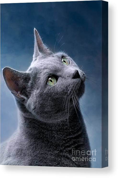 Russian Canvas Print featuring the photograph Russian Blue Cat by Nailia Schwarz