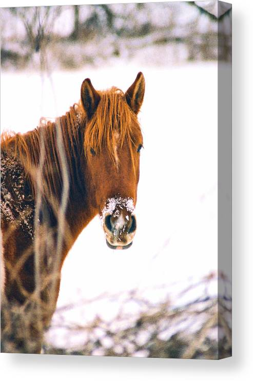 Horse Canvas Print featuring the photograph Horse in winter by Steve Karol