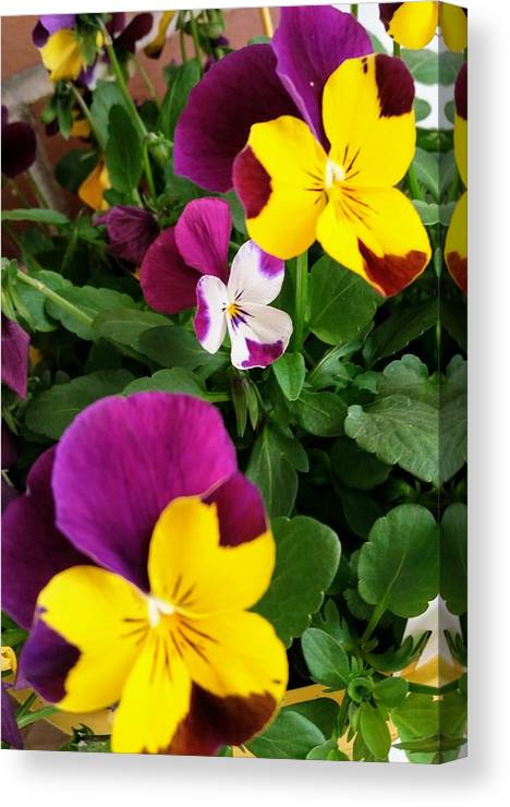 Pansies Canvas Print featuring the photograph Pansies 3 by Valerie Josi
