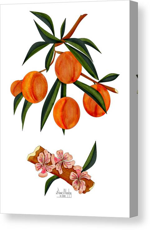 Peaches Canvas Print featuring the painting Peach and Peach Blossoms by Anne Norskog