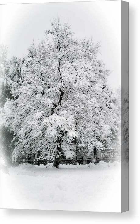 Tree Canvas Print featuring the photograph The Pear Tree by Heather Hubbard