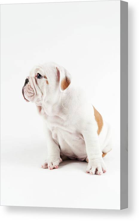 Pets Canvas Print featuring the photograph Cute Bulldog Puppy On White Background by Peter M. Fisher
