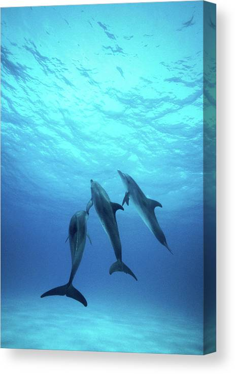 Underwater Canvas Print featuring the photograph Atlantic Spotted Dolphins Underwater by Stuart Westmorland
