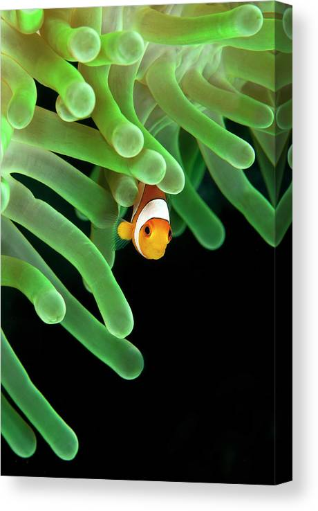 Underwater Canvas Print featuring the photograph Clownfish On Green Anemone by Alastair Pollock Photography