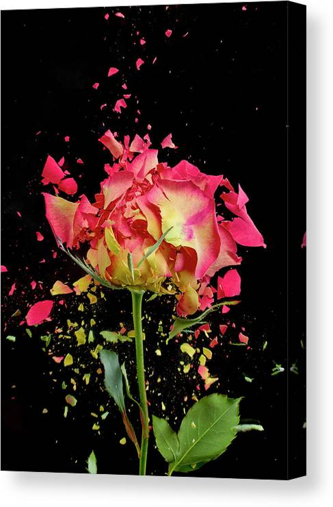 Black Background Canvas Print featuring the photograph Exploding Rose by Don Farrall