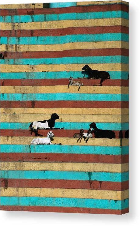Steps Canvas Print featuring the photograph Goats Resting On The Tulsi Ghats by Anders Blomqvist