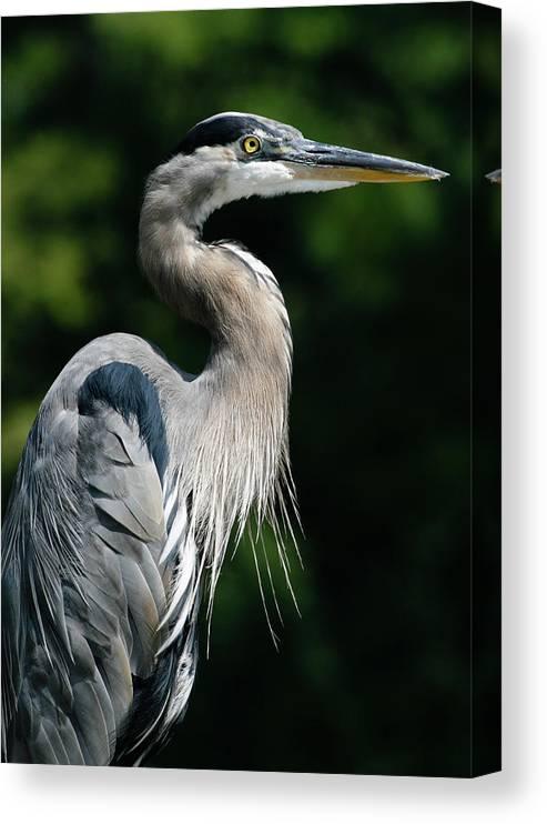 North Carolina Canvas Print featuring the photograph Great Blue Heron by Bill Swindaman