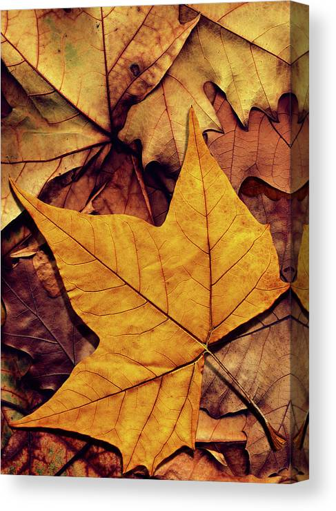 Orange Color Canvas Print featuring the photograph High Resolution Dry Maple Leaf On by Miroslav Boskov