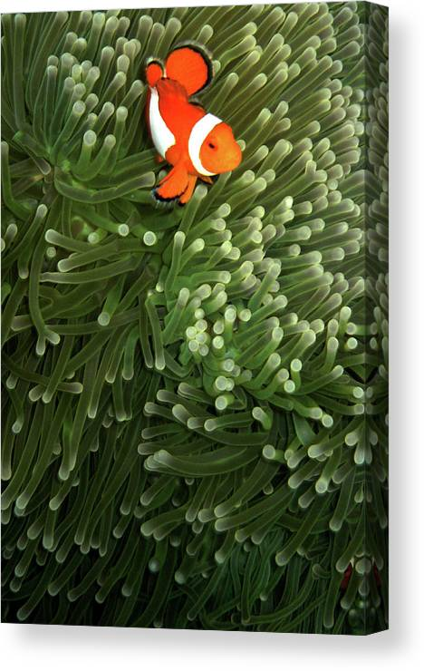 Underwater Canvas Print featuring the photograph Orange Fish With Yellow Stripe by Perry L Aragon