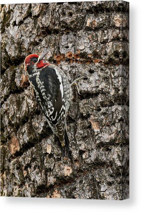 Birds Canvas Print featuring the photograph Red-breasted Sapsucker, Sacramento County California by Doug Herr