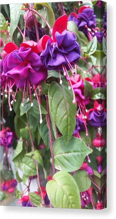 Fuchsia Flowers Spring Canvas Print featuring the photograph Fuchsia by Valerie Josi