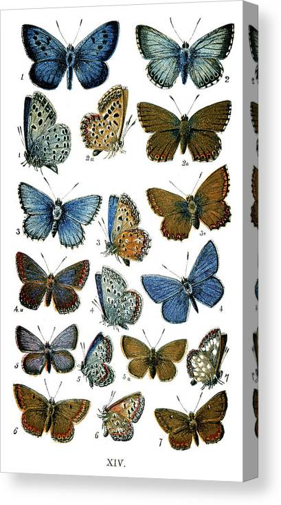 Common Blue Butterfly Canvas Print featuring the digital art Butterflies by Duncan1890