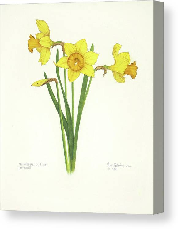 Daffodils Canvas Print featuring the painting Daffodils by Bill Gehring